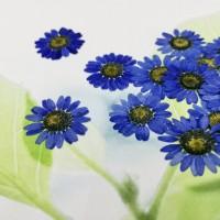 白晶菊-紫藍色