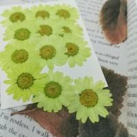白晶菊-果綠色
