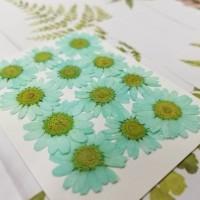 白晶菊-Tiffany藍色