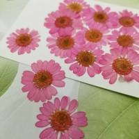 白晶菊-玫瑰粉紅色