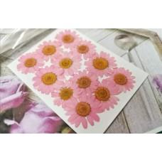 白晶菊-粉紅色