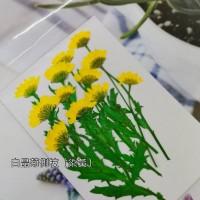 白晶菊側枝_黃色