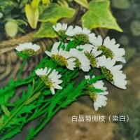 白晶菊-染白色帶葉