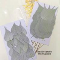 苧麻葉-原色-押花花材