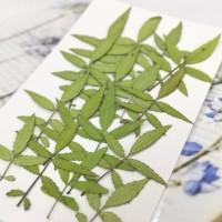 萬壽菊葉-原色-押花花材