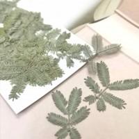 合歡葉-原綠色-押花花材