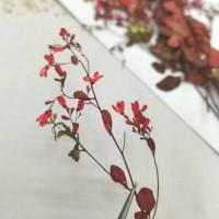 唐松芽-紅色- 押花花材