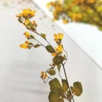 唐松芽-黃色- 押花花材