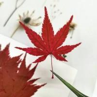 楓葉-紅色-押花花材