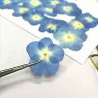 繡球花-白心藍色- 押花花材