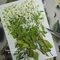 雪花木-原色-押花材料