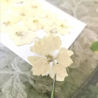 千鳥-奶油色 - 押花花材