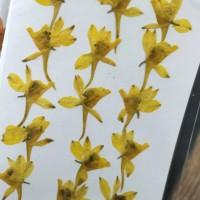 火箭飛燕-黃色-押花花材