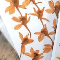 火箭飛燕-橙色-押花花材