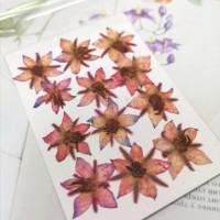 琉璃苣-紅色-押花材料