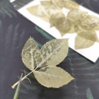 美白系葉-玫瑰葉-米黃綠色-押花材料