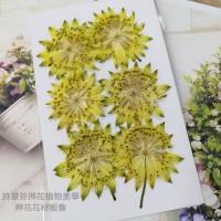 白芨-鮮黃色-押花花材