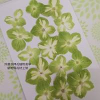 繡球花-綠白色- 押花花材