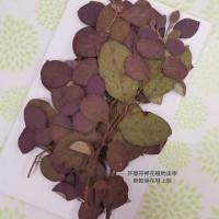 紅槭木-紅-押花花材
