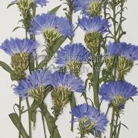 孔雀草花-側面藍色