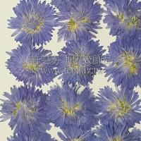 孔雀草花-正面藍色
