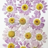 白晶菊-紫色