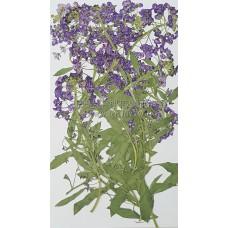 香雪球-紫色