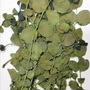 尤加利葉-綠色
