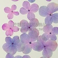 繡球花-紫紅色