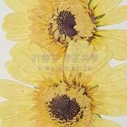 太陽菊-亮黃色