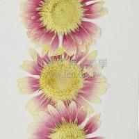 太陽菊-淺桃紅色白心