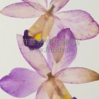 石斛蘭-原色