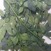 南天竹-綠色