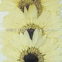 太陽菊-原色黑心
