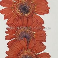 太陽菊-橙色