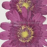 太陽菊-紫桃紅