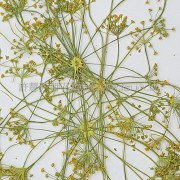 大茴香-黃色