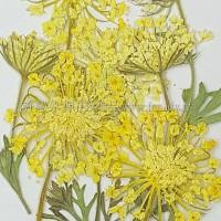 翠珠枝-黃色