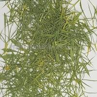 細草-黃綠色