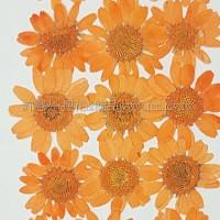 白晶菊-橙色