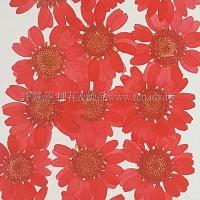 白晶菊-紅色
