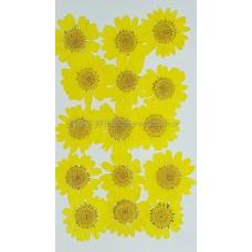 白晶菊-黃色