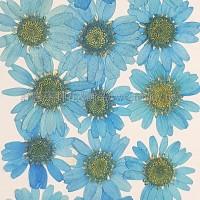 白晶菊-天藍色