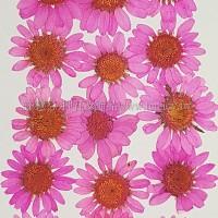 白晶菊-桃粉紅色
