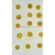 白晶菊-白色