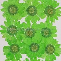 白晶菊-亮綠色
