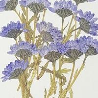 白晶菊側枝_紫色