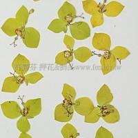黃荷-黃色