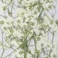 滿天星-白色帶枝-押花花材