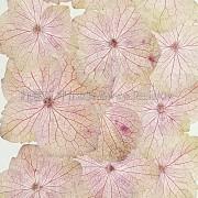 繡球花_紫紅色